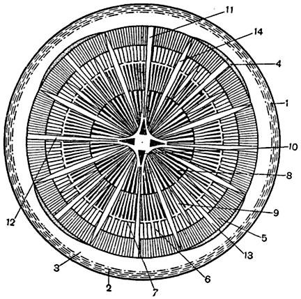 Схема строения корня винограда
