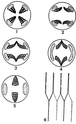 Схема перехода строения стебля