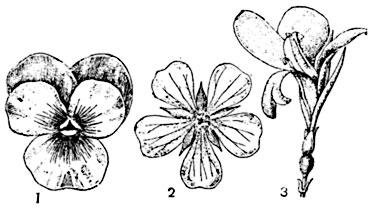 Цветок актиноморфный