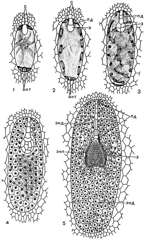 Развитие семени формирование зародыша и эндосперма