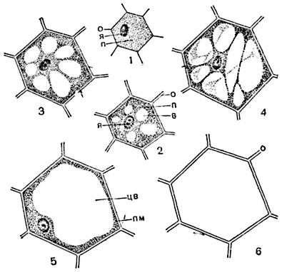 Схема развития клетки, начиная